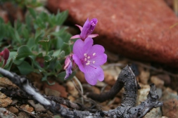 159-epilobium-rigidum-siskiyou-willow-herb